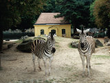 A Pair of Zebras Standing in Front of a Typical Yellow Maria-Theresa Animal House  Vienna  Austria