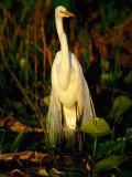 Great White Egret (Casmerodius Albus) in Breeding Plumage  India