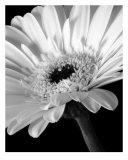 0001 Gerber Daisy Flower