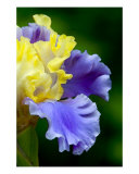 Curly Blue And Yellow Iris