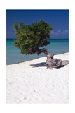 Eagle Beach with a Fofoti Tree Aruba