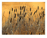 Fall Cattails