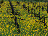 Detail of Pruned Vines and Mustard Blossoms  Napa Valley  USA
