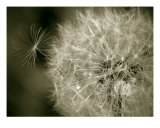 Seedy Dandelion