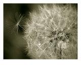 Seedy Dandelion