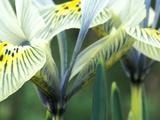 "Iris ""Katherine Hodgkin"" (Reticulata)"