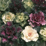 Ornamental Cabbage  Mixed Autumn and Winter