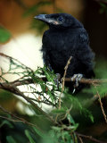 American Crow  British Columbia