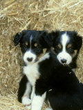 Border Collie Puppies  Sat Amongst Straw Bales