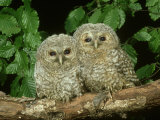 Tawny Owl  Chicks  2 Owlets Perched on Branch  West Yorkshire