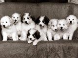 Pyrenean Mountain Dog Puppies  January 1986