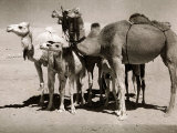 The Sahara Camel  Youngsters Have Black Noses and Later Changes to All Over Creamy White