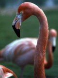Flamingoes at Western Underwood Zoo  December 1979