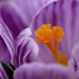 Crocus &quot;Pickwick&quot; (Extreme Close-up of Purple Flower) March