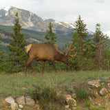 Elk Grazing on Grass  Jasper National Park  Canada
