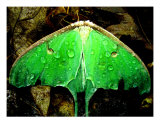 Luna Moth After A Rain