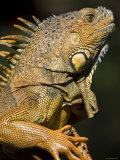 Belize  San Iguacio  Green Iguana