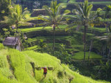 Man in Rice Fields  Nr Ubud  Bali  Indonesia
