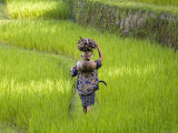 Man Carrying Firewood and Coconuts Through Rice Paddies  Bali  Indonesia