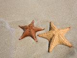 Panama  Bocas Del Toro Province  Colon Island Star Beach  Starfish