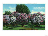 Rochester  New York - Highland Park Lilacs in Bloom