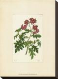 Red Curtis Botanical III