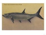 Tarpon Fish from SW Coast of Florida - Florida