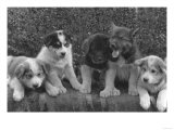 Puppies that will some day pull dog sleds Photograph - Alaska