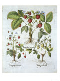 Three Varieties of Strawberry  Plate 116  from Hortus Eystettensis by Basil Besler