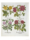 Roses  Plate 96 from Hortus Eystettensis by Basil Besler