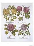 Roses  Plate 95 from Hortus Eystettensis by Basil Besler