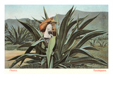 Man Harvesting Maguey Juice for Tequila  Mexico