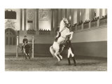 Lipizzaner  Vienna  Austria
