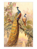 Peacock and Peahen  Illustration