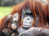A Baby Orangutan Cuddles up Close to Her Mother at London Zoo  August 1991