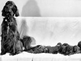 Wendy My Pride a Red Setter with a Litter of Eleven New Born Puppiesy London  December 1968