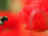 A Bumble Bee Hovers Over a Poppy Flower During a Summer Heat Wave in Santok  Poland  June 27  2006
