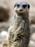 Jenny the Meerkat Shows Her New Babies How to Stand at London Zoo  June 2005