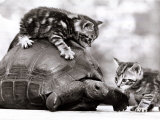 Two Young Kittens Playing with a Slow Moving Giant Tortoise  1983