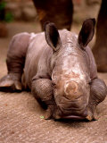 Otze the Rhinocerous Born at Edinburgh Zoo  June 1998