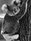 Lally the Koala with a Broken Leg Which She Receive During Trying to Escape a Bush Fire