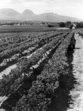 Workers Picking Grapes in Vineyard  Paarl  South Africa  June 1955