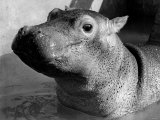 Esme  Two Month Old Hippopotamus  April 1973