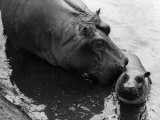 Wendy&#39;s Little Wanda: Wanda the Baby Hippo Shy When Making First Public Appearance on Tuesday