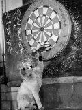 Clever Kitten is Snowball Pulls Darts out for Men of Royal Mint