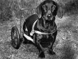Moss the Dashshund in a Canine Wheelchair with the Slipped Disc  June 1960