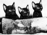 Kittens Hiding Behind Log November 1965