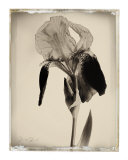 Sepia Iris