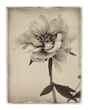 Sepia Peony