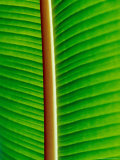 The Blacklit Veins of a Banana Leaf  Genus Musa  Family Musaceae